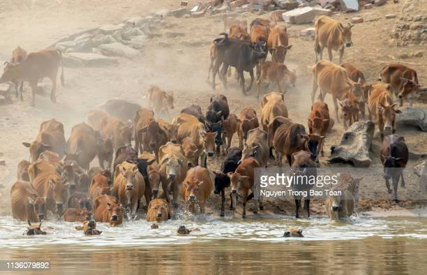 Cows and buffaloes flock across the river