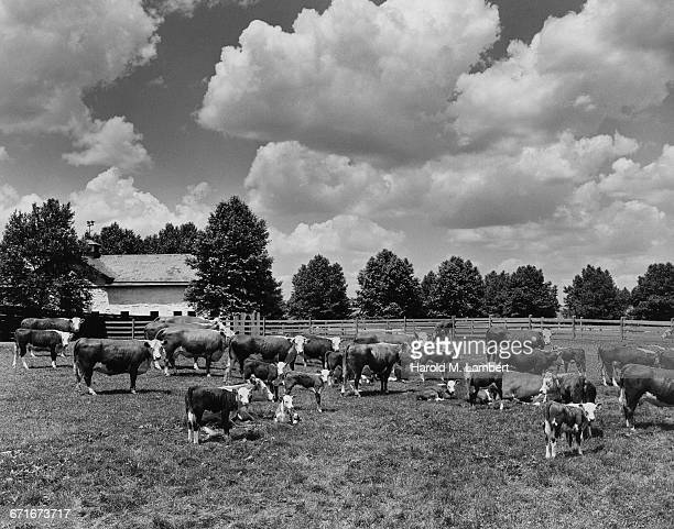 cows and calves in farm - {{relatedsearchurl(carousel.phrase)}} ストックフォトと画像