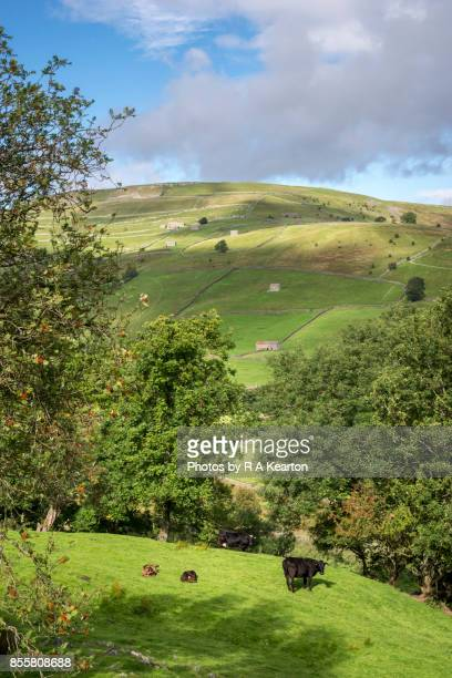 Cows and calves in Swaledale, Yorkshire Dales, England