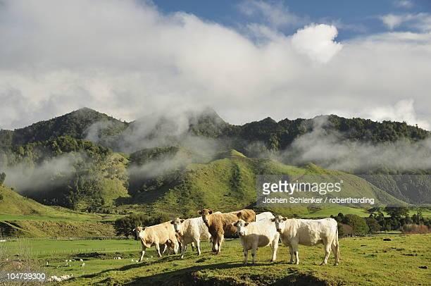 cows and farmland, near matawai, gisborne, north island, new zealand, pacific - gisborne stock photos and pictures