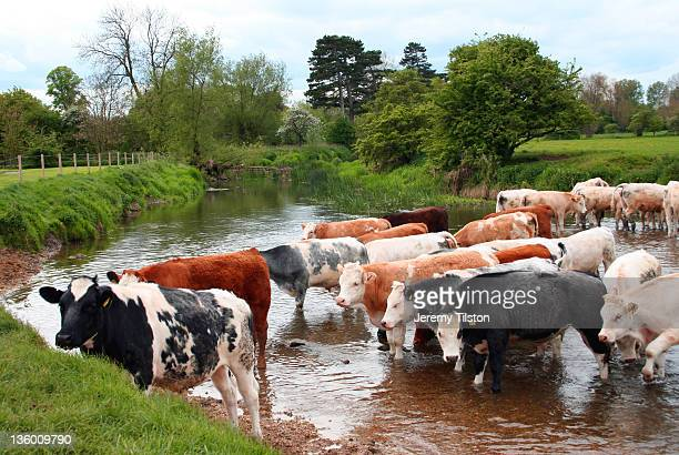 cows and large group - milton keynes stock pictures, royalty-free photos & images