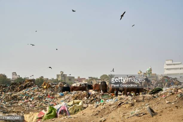 cows and other animals grazing directly on the garbage dump near juna dhobi ghat in karachi, pakistan - ghetto trash stock pictures, royalty-free photos & images