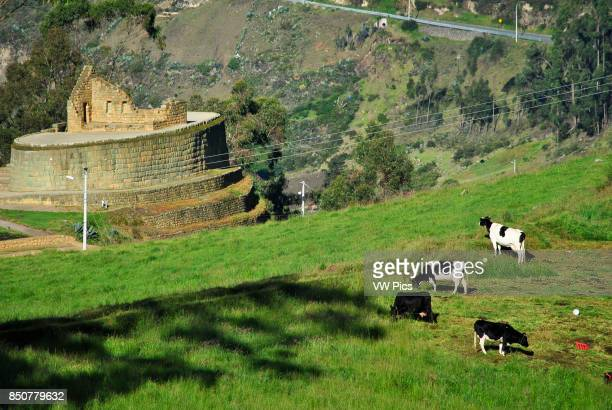 Cows and Temple of the Sun. Inca Ruin. El Tambo. IngapircA Ecuador.