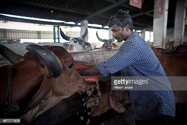 Cows are fed at the Shree Gopala Goshala cow shelter September 7 2015 in Bhiwandi India Earlier this year the Maharashtra government banned the...