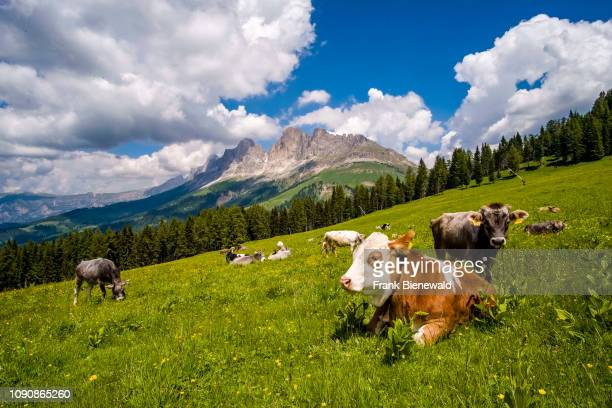 Cows are grazing at the green pastures of Alm Latemar the mountains Rosengarten group Catinaccio in the distance