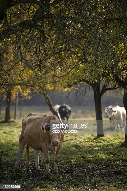 Cows are grazing in a field near the town of Burg in the east German state of Brandenburg on October 30 2011 The wetlands area south east of the...