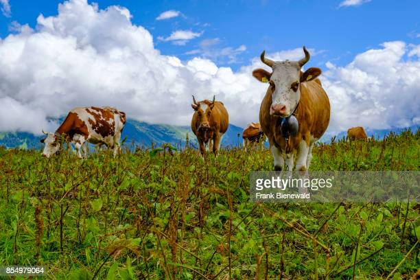 GRINDELWALD BERN SWITZERLAND Cows are grazing on the green meadows of the mountain slopes of Bernese Oberland