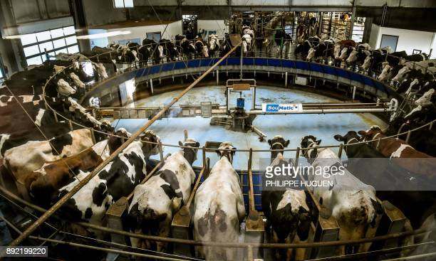 Cows are milked with milking machines on December 14 2017 at an intensive cattle farm known as the 1000cow farm in the northeastern French town of...
