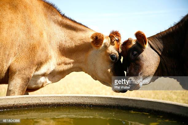 Cows are pictured at a water trough in the dry conditions at Ambury Farm on January 20 2015 in Auckland New Zealand Soilmoisture levels across the...