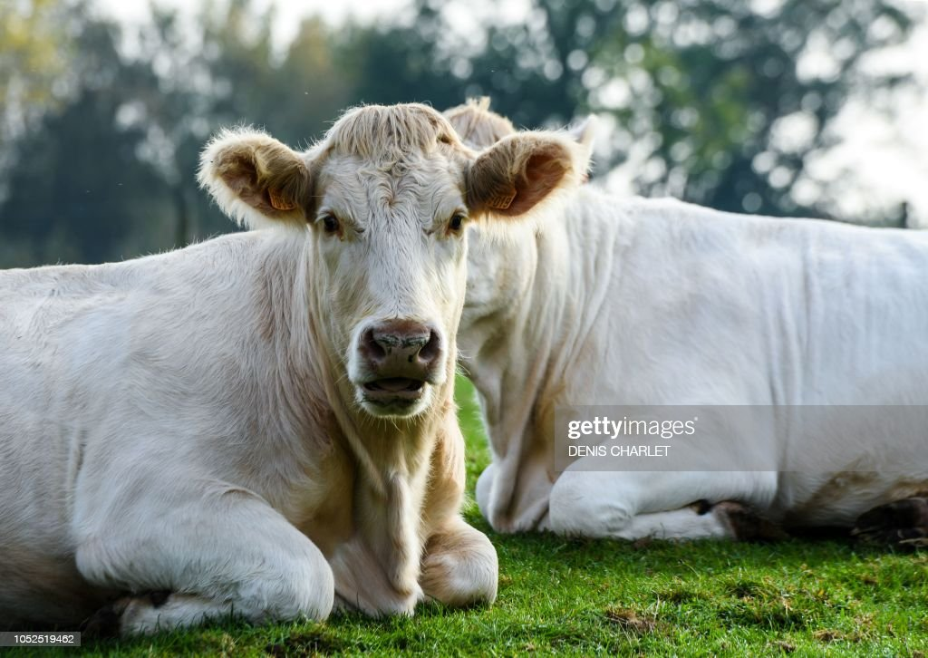 FRANCE-AGRICULTURE-COWS-FARMING-LIVESTOCK : News Photo