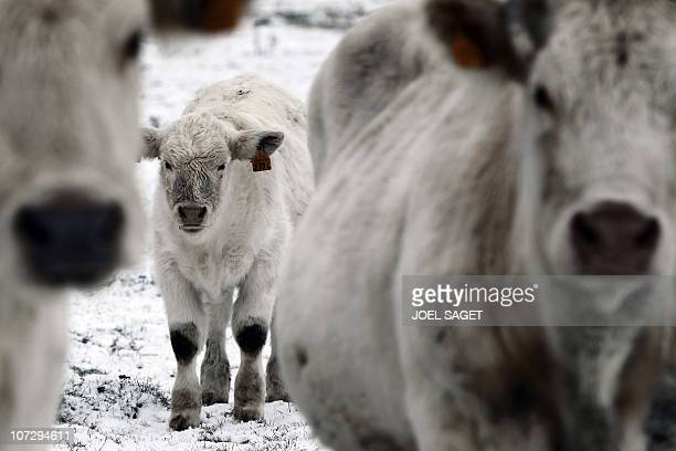 Cows are pictured in a snowed up field after heavy snowfalls on December 3 2010 in PontAudemer in France's Normandy region In the region of Normandy...