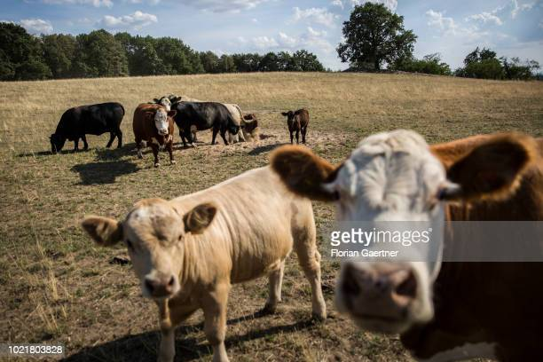 Cows are pictured on a withered field on August 23 2018 in Weigersdorf Germany