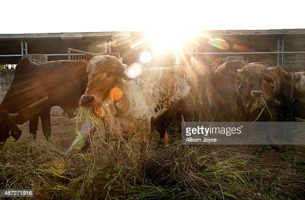 Cows are seen at the Shree Gopala Goshala cow shelter September 7 2015 in Bhiwandi India Earlier this year the Maharashtra government banned the...