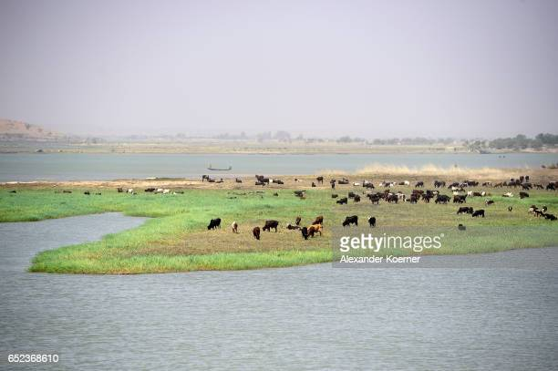 Cows are seen on a bank of the river Niger on the outskirts of Gao on March 7 2017 in Gao Mali Each week locals and Touareg nomads gather at the...