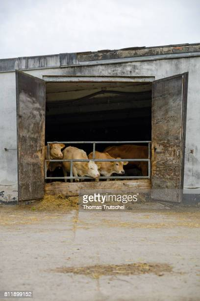 Cows are standing on an organic farm in a cowshed on July 10 2017 in Lanke Germany