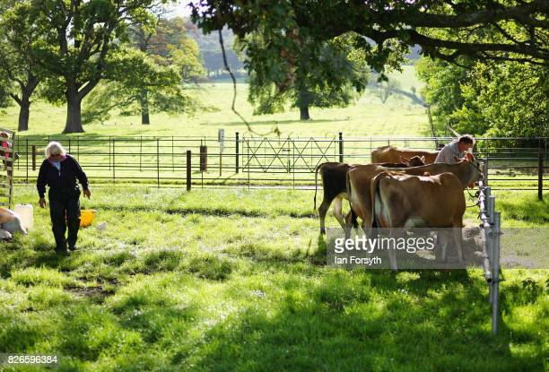 Cows are tethered to a railing before showing during the Osmotherley Country Show on August 5, 2017 in Osmotherley, England. The annual show hosts...