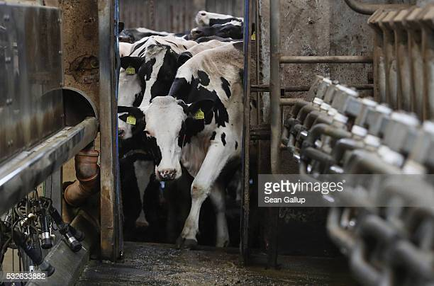 Cows arrive for milking at the Wolters dairy farm on May 19 2016 in Bandelow Germany German dairy farmers are struggling as milk prices have fallen...