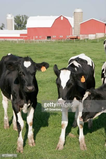 Cows at an Amish farm in Shipshewana