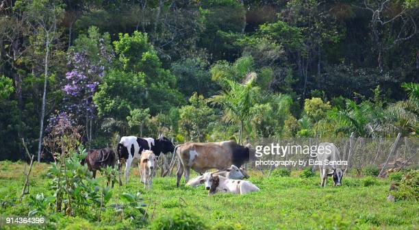 cows at brazil. vacas de brasil. - cow mooing stock pictures, royalty-free photos & images