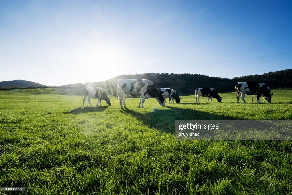 Cows at grass : Foto de stock