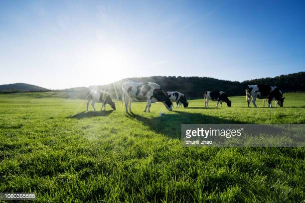cows at grass - wiese stock-fotos und bilder