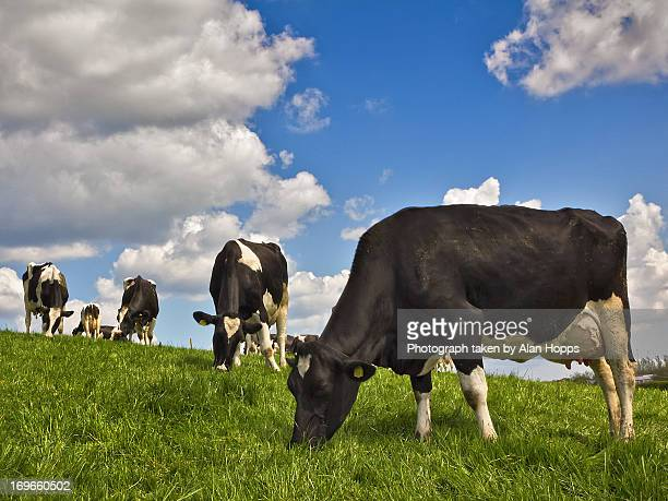 cows at grass - 草を食む ストックフォトと画像