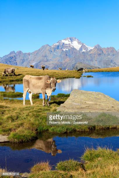 Cows at Lakes of Campagneda, Malenco Valley, Italy