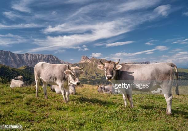 mucche al famoso seiser alm, dolomiti, alpi, italia - pascolo foto e immagini stock