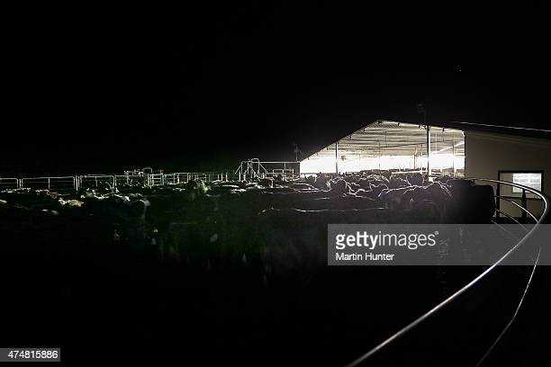 Cows at the Synlait dairy farm stand in the darkness of night on May 25 2015 in Christchurch New Zealand New Zealandbased dairy producer Synlait has...
