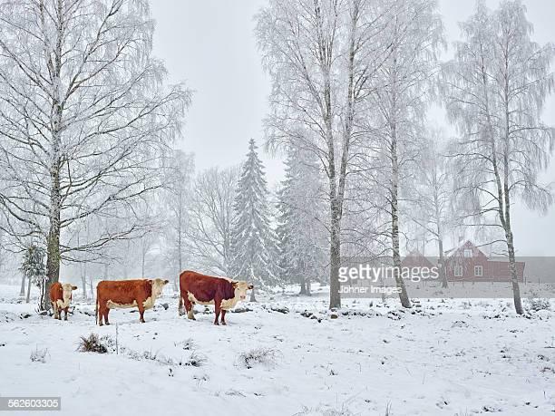 Cows at winter