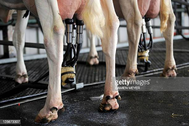 Cows being milked are pictured during the 25th international livestock trade fair on September 13 in the French western city of Rennes The event runs...