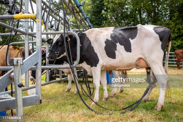 cows being milked by a milking machine, ireland - milking stock pictures, royalty-free photos & images