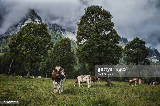 cows between sycamore maples at the großer ahornboden - karwendel mountains stock pictures, royalty-free photos & images