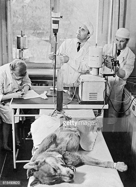 Cow's Blood For Dog Moscow Our picture shows a dog receiving cow's blood At left surgeon T Pokhilko and right scientific associate N Podusenko Is it...