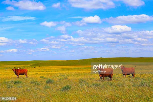 Cows – cattles at farm, pampa countryside landscape, southern Brazil