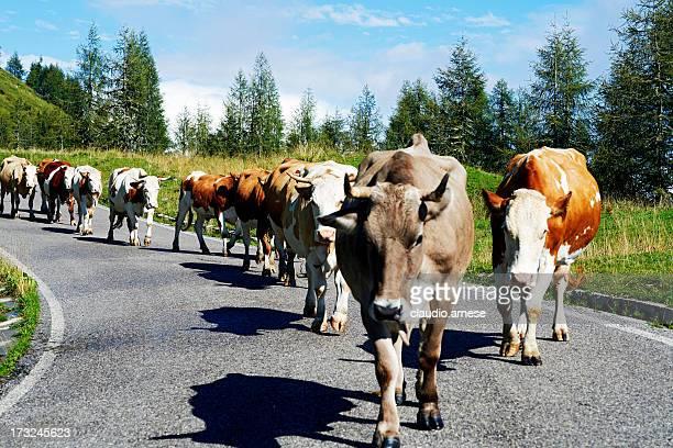 Cows. Color Image