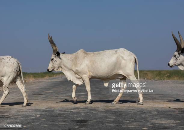Cows crossing a road Afar region Semera Ethiopia on November 1 2018 in Semera Ethiopia