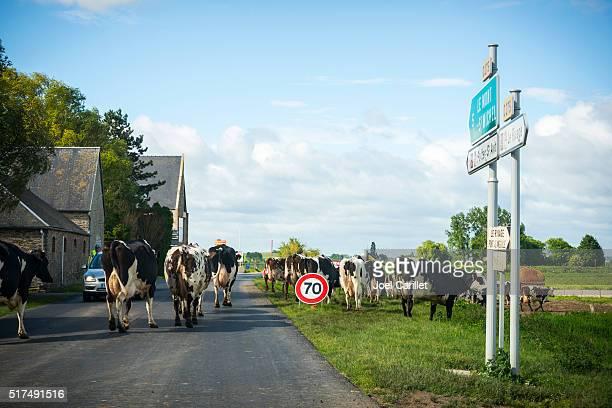 Vaches traversant route en Normandie, France