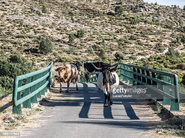 cows crossing the bridge - cow mooing stock pictures, royalty-free photos & images