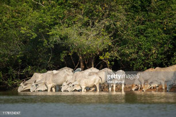 cows drinking water in pantanal - mato grosso state stock pictures, royalty-free photos & images