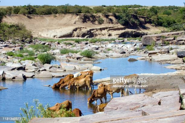 cows drinking water - ecosystem stock pictures, royalty-free photos & images