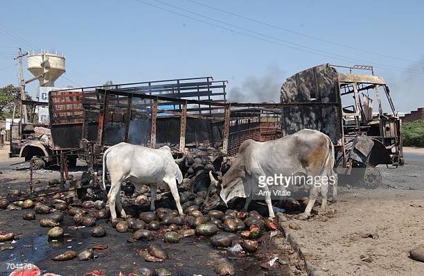 Cows eat watermelons that were burned after mobs of Hindus torched Muslimowned trucks on a highway going from Mombai to Ahhmadabad March 2 2002 in...