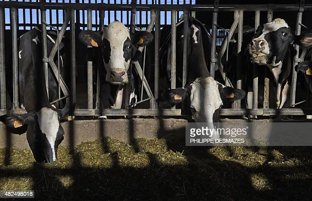 Cows eat winter hay in a farm's cowshed in SaintJustlaPendue near Roanne central France on July 31 as field and meadow grass have dried up following...