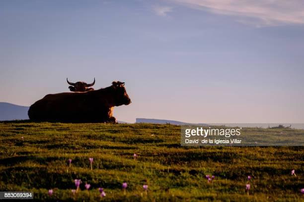 cows eating and resting in the grass - pais vasco fotografías e imágenes de stock
