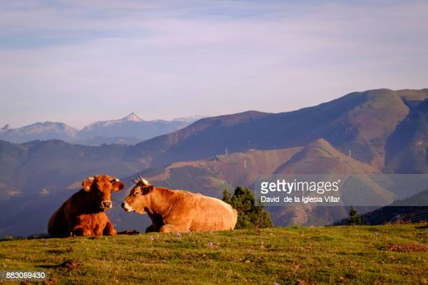 Cows eating and resting in the grass