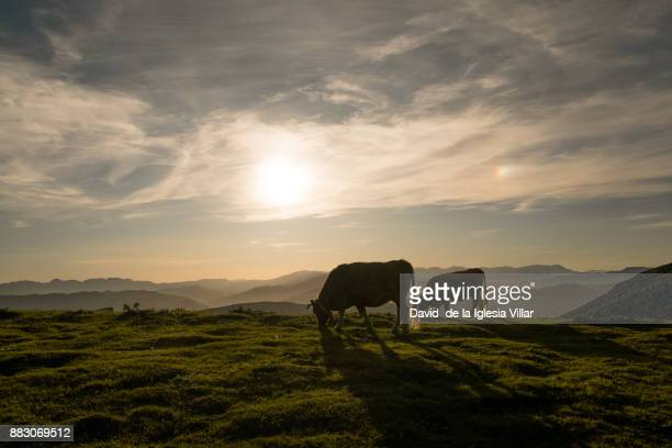 cows eating and resting in the grass - pasture stock pictures, royalty-free photos & images