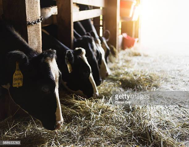 Cows eating hay
