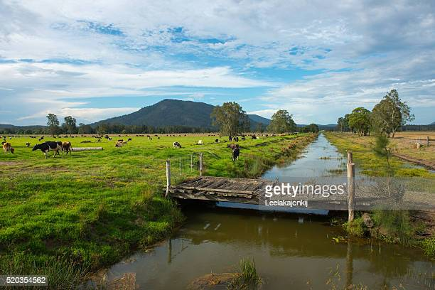 Cows farm in countryside of NSW