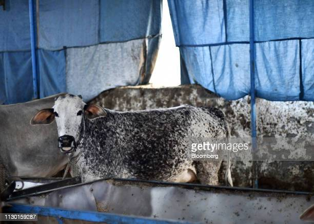 Cows feed at a cow shelter in Aligarh Uttar Pradesh India on Tuesday Feb 19 2019 A clampdown by Prime Minister Narendra Modi backed by Hindu...