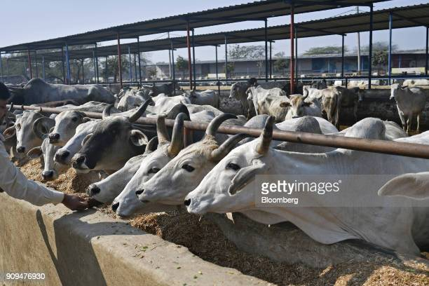 Cows feed in a cattle shed at the Sri Krishna Gaushala on the outskirts of New Delhi India on Sunday Jan 21 2018 The nursing home offers free food...